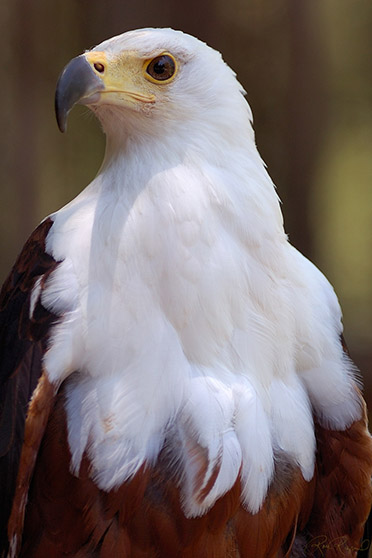 African_FishEagle_HS6455s