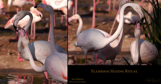 Flamingo_MatingRitual_HS3621-27_Msigned