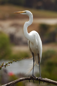 GreatEgret_HS0705