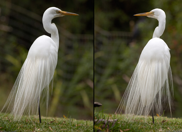 GreatEgret_MatingPlumage_HS0455_72