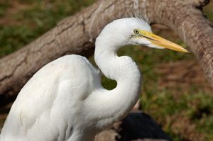 GreatEgret_Portrait_HS0888