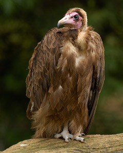 Hooded_Vulture_X1616