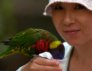 Lorikeet_feeding_HS7321
