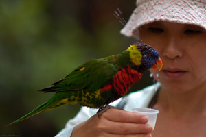 Lorikeet_feeding_HS7332