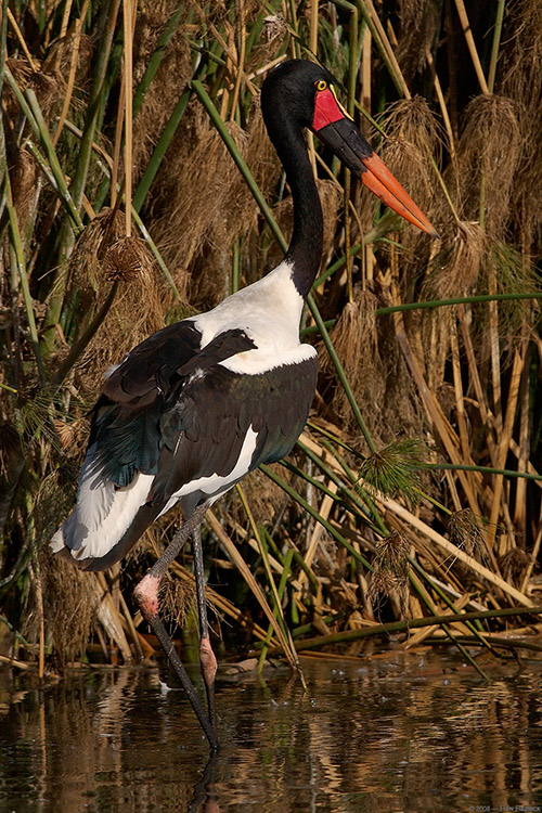 Saddle-Billed_Stork_2996M