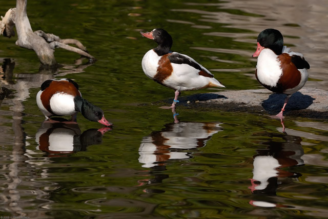Shelducks_X8167