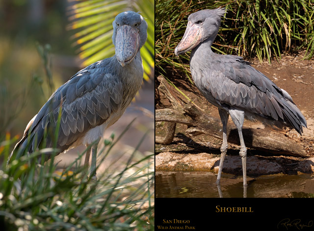 Shoebill_X5940_HS3356_Msigned