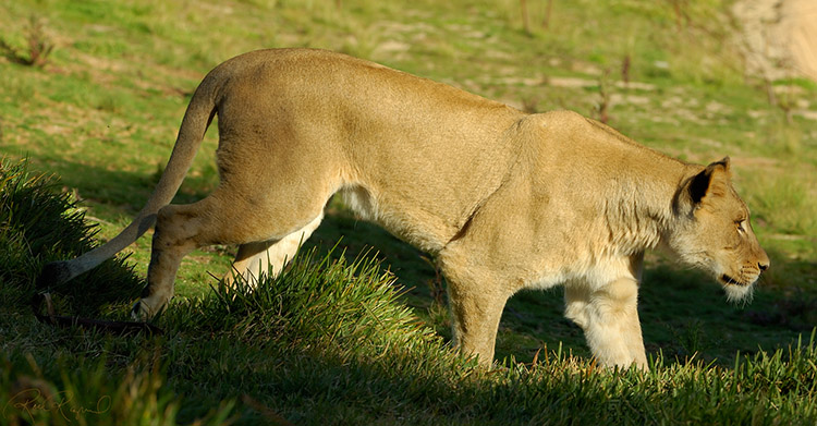 Lioness_X8593s