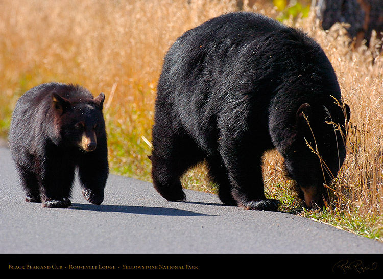 BlackBear_andCub_RooseveltLodge_8560