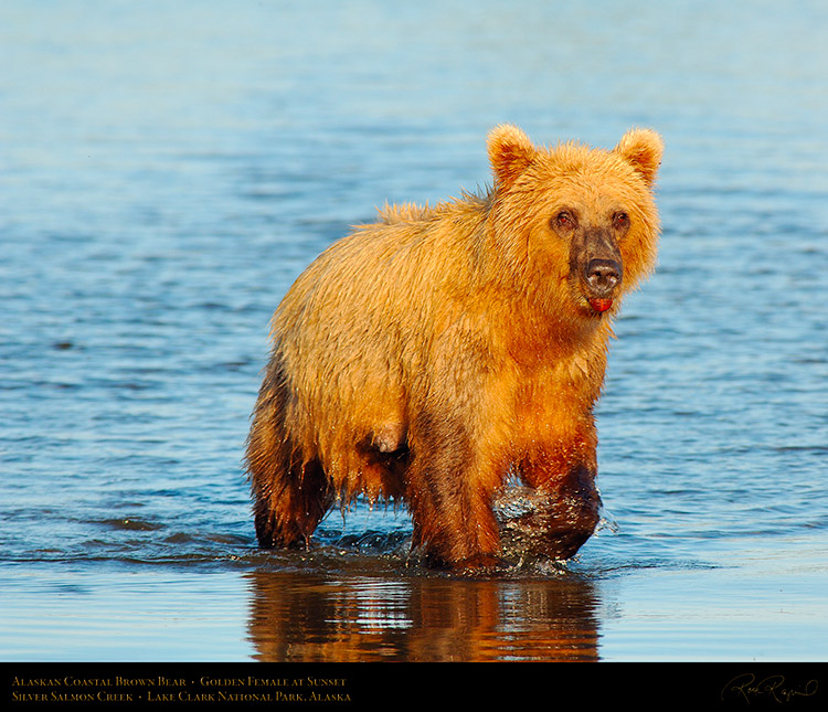 BrownBear_GoldenFemale_atSunset_X3208M