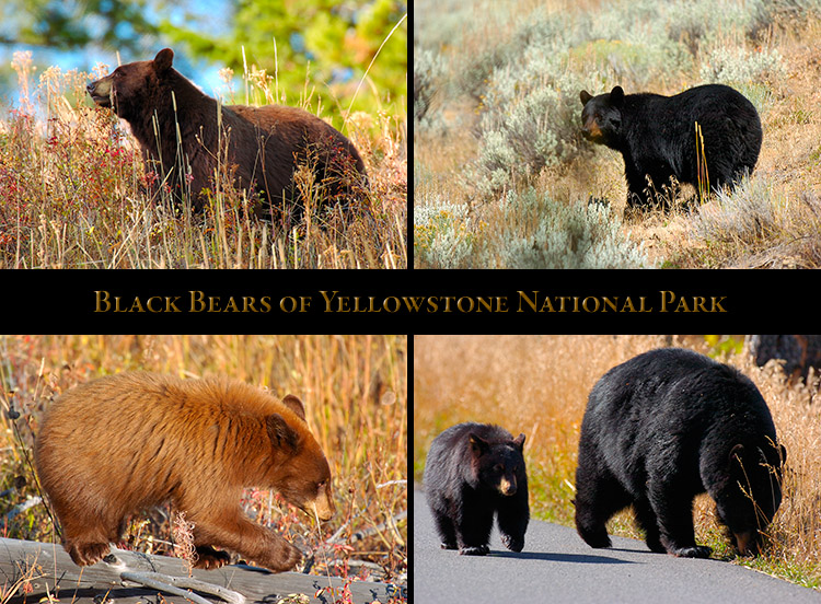 Yellowstone_Bears