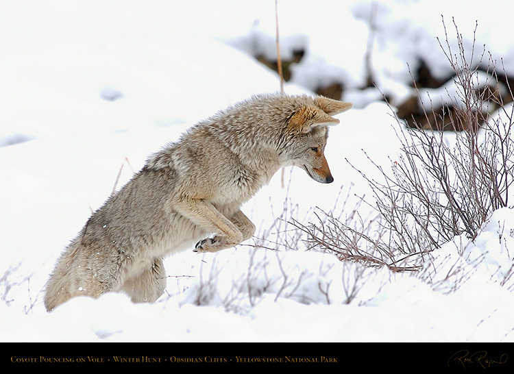 CoyotePounce_6791