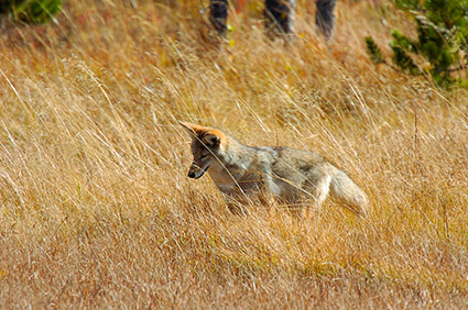 Coyote_WillowPark_0611