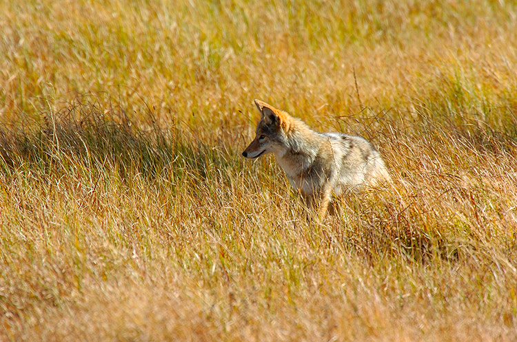 Coyote_WillowPark_0625