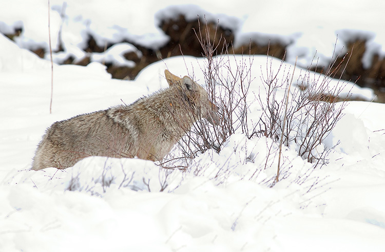 Coyote_withVole_6794