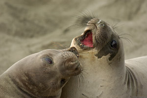 ElephantSeal_Fight_3954