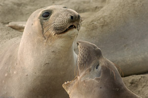 ElephantSeal_Fight_3983