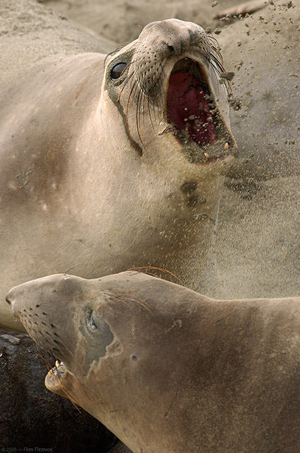ElephantSeal_Fight_3986