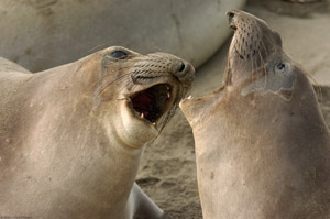 ElephantSeal_Fight_3989