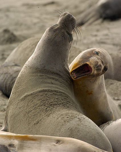 ElephantSeal_Fight_4047