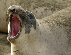 ElephantSeal_FightingDisplay_3962