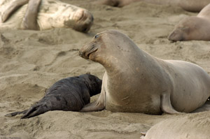 ElephantSeal_Mother_andPup_4038