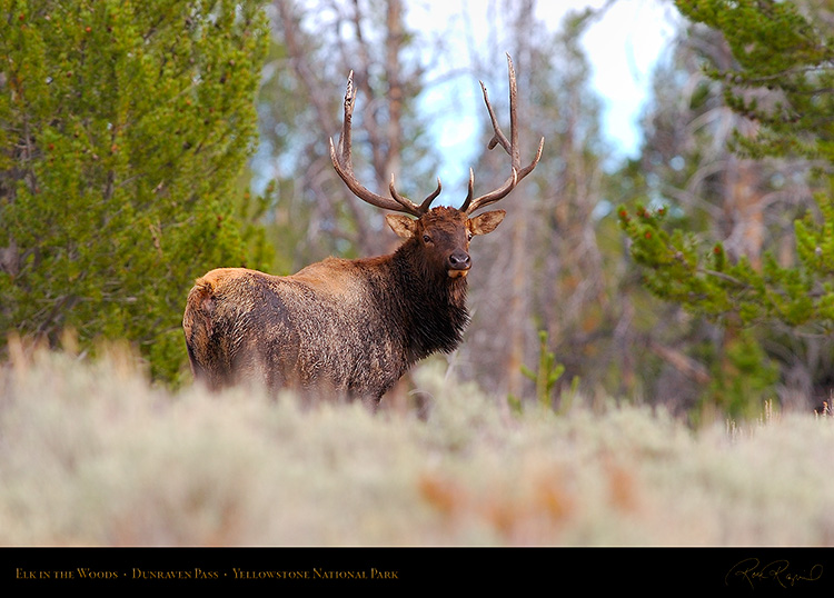 Elk_DunravenPass_Yellowstone_9997