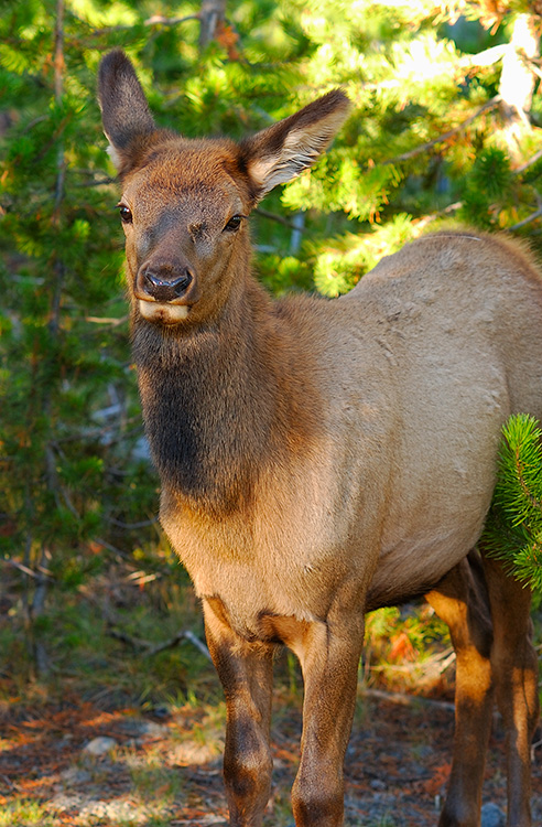 ElkPortrait_Yellowstone_0991