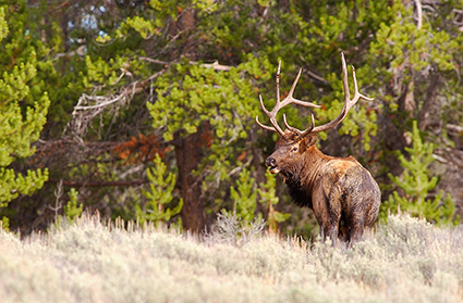 Elk_DunravenPass_Yellowstone_9989