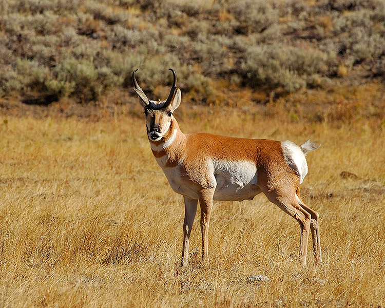 Pronghorn_LamarValley_0565M