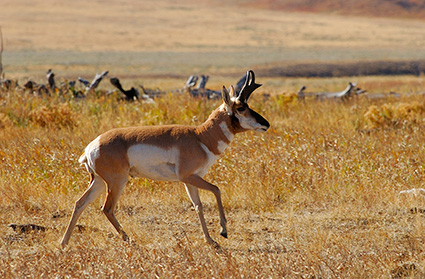 Pronghorn_LamarValley_0570