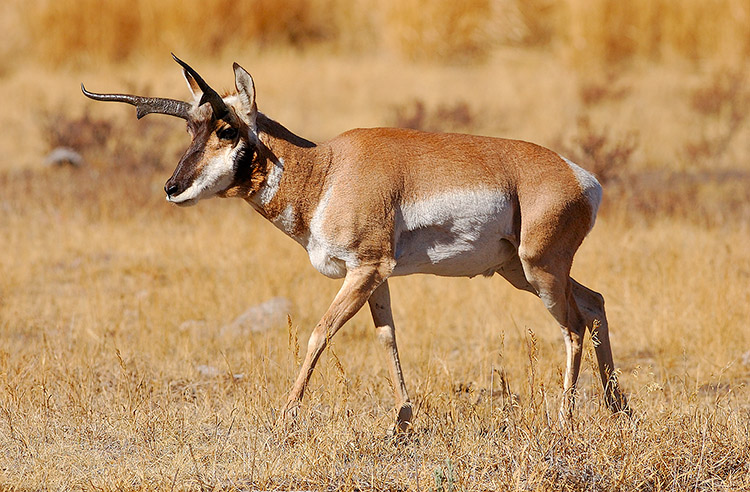 Pronghorn_LamarValley_0952