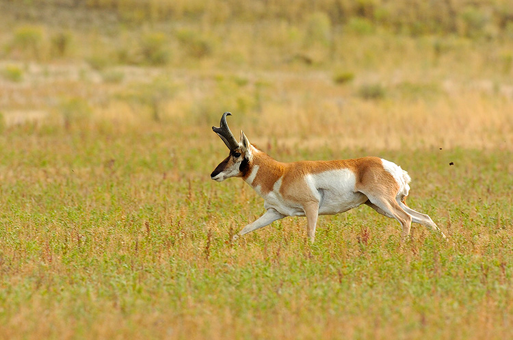 Pronghorn_NorthEntrance_Yellowstone_0140