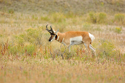Pronghorn_NorthEntrance_Yellowstone_0158