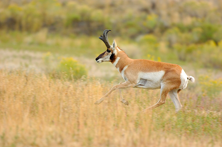 Pronghorn_NorthEntrance_Yellowstone_0217