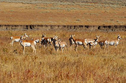 Pronghorns_LamarValley_0541