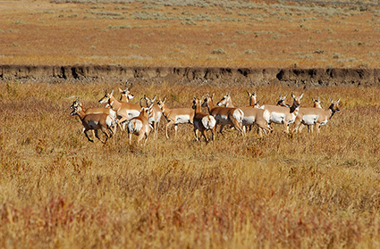 Pronghorns_LamarValley_0544