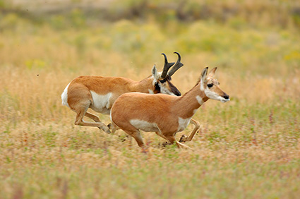 Pronghorns_NorthEntrance_Yellowstone_0163