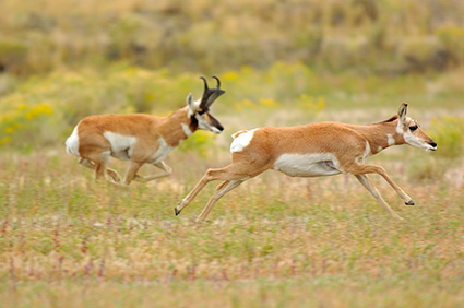 Pronghorns_NorthEntrance_Yellowstone_0167