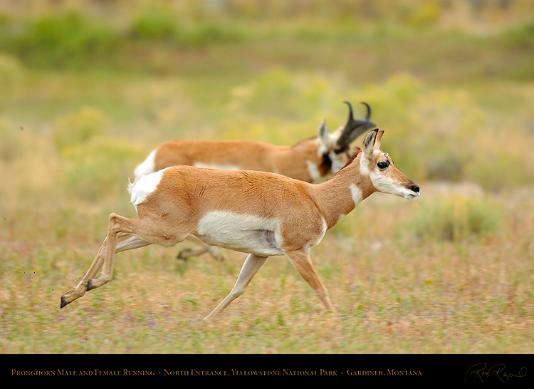 Pronghorns_NorthEntrance_Yellowstone_0178