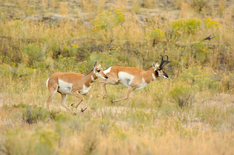 Pronghorns_NorthEntrance_Yellowstone_0185