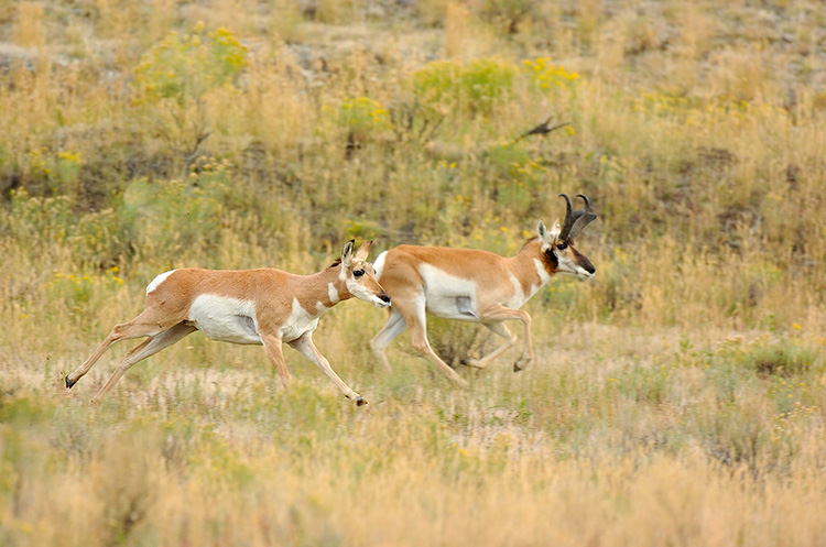 Pronghorns_NorthEntrance_Yellowstone_0186