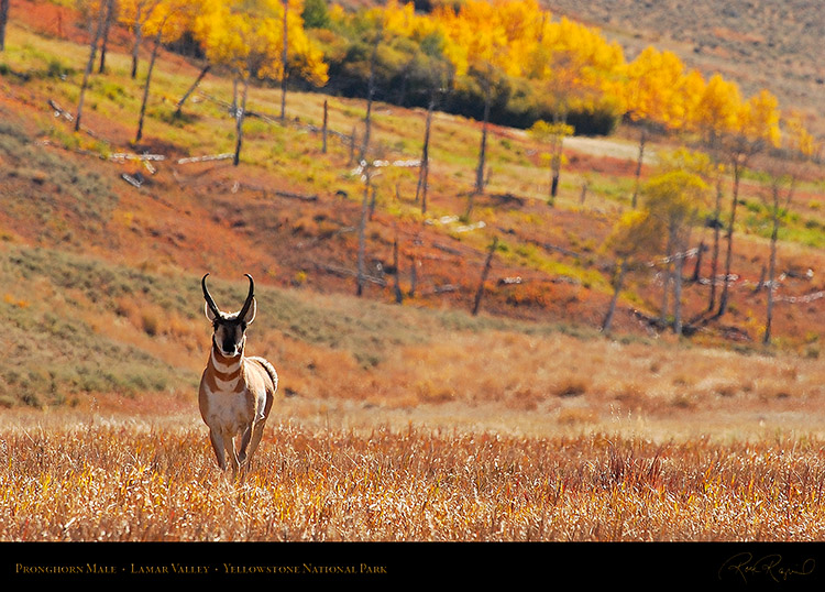 Pronghorn_LamarValley_0561