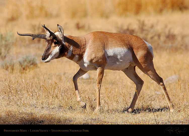 Pronghorn_LamarValley_0953