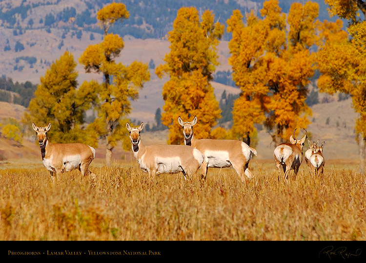 Pronghorns_LamarValley_0557