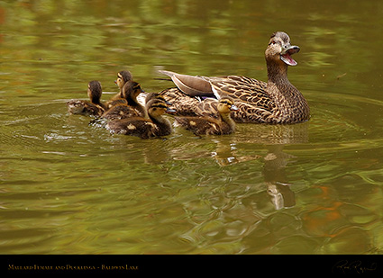 MallardFemale_Ducklings_1063