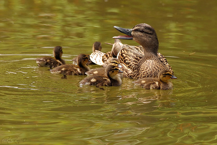 MallardFemale_Ducklings_1064