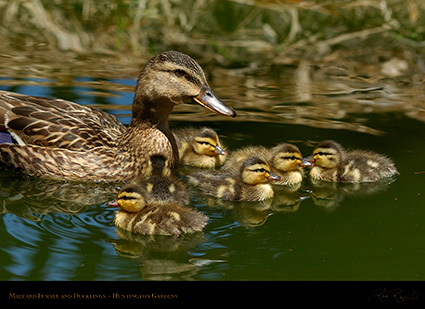 MallardFemale_Ducklings_6955