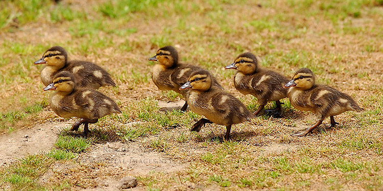 Marching_MallardDucklings_1055