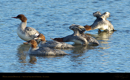 Merganser_Display_X3252